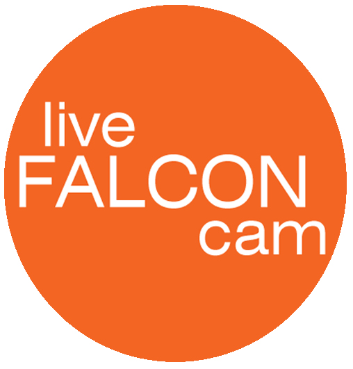 Link to live falcon cam