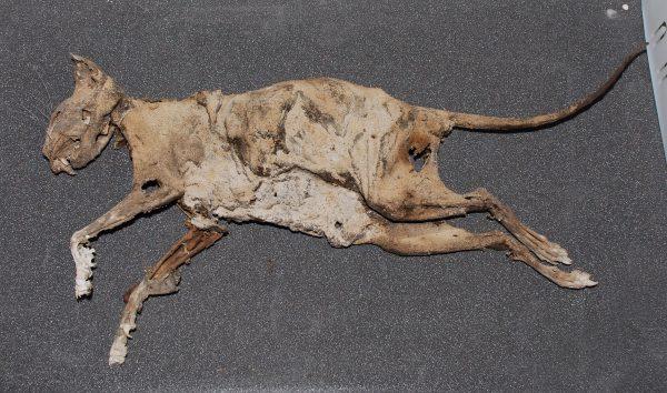 Prop – Mummified cat, Collection of Rotorua Museum Te Whare Taonga O Te Arawa.