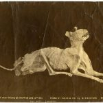 The mummified cat from Tarawera eruption, found at Wairoa 1901 by C. Crowther, Rotorua