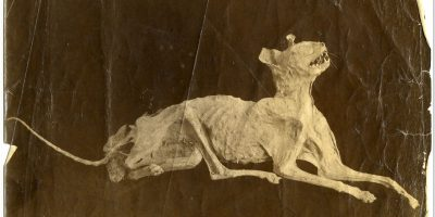 The mummified cat from Tarawera eruption, found at Wairoa 1901 by C. Crowther, Rotorua