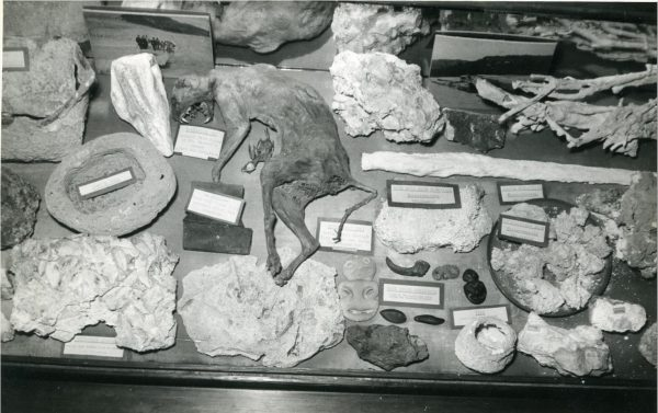 Photograph of museum display consisting of a dried cat and what appear to be sinter samples, 1940-1960, unknown photographer, Rotorua Museum Te Whare Taonga o Te Arawa
